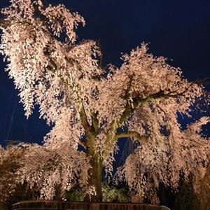 スタッフの休日 夜桜