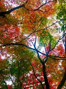 城陽の紅葉